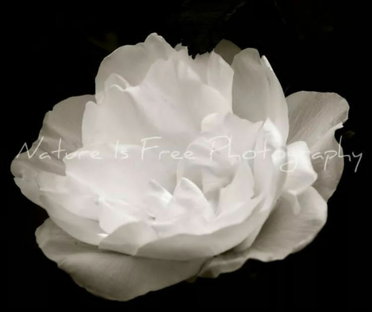 beauty fragrance rose touch sou - natureisfree   ello