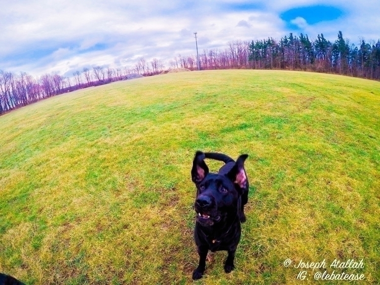 Dog, GermanShepherd, GSD, blacklab - lebatease | ello