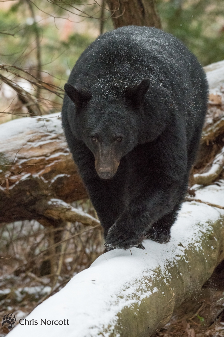 Female black bears log walk sno - chrisnorcottphotography | ello