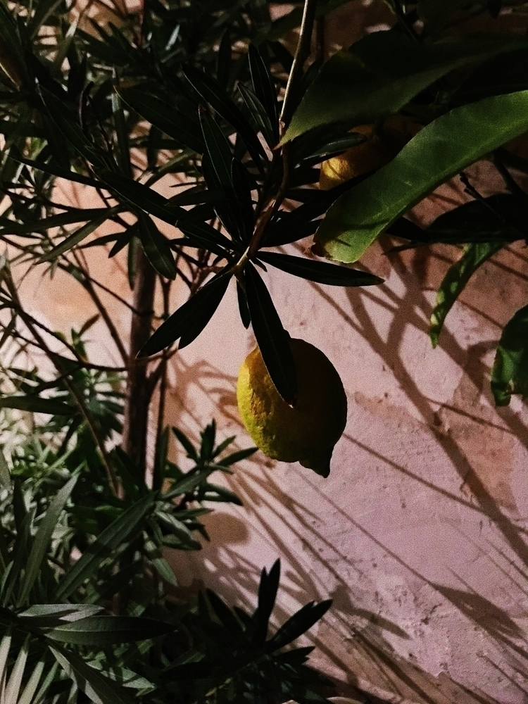 tree lemon, stand fall love - lemontree - ecikej | ello