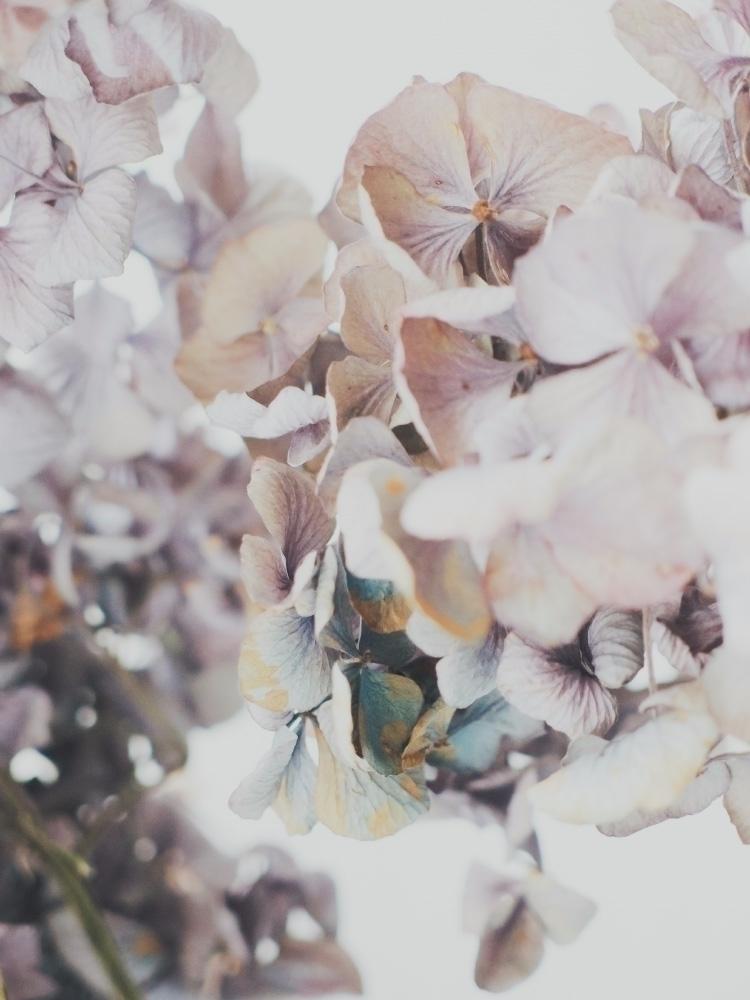 Hydrangea - hydrangea, flower, plant - andreigrigorev | ello