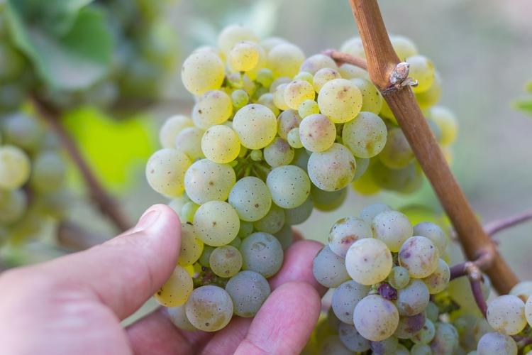 Working harvest Chehalem Winery - masappetit   ello