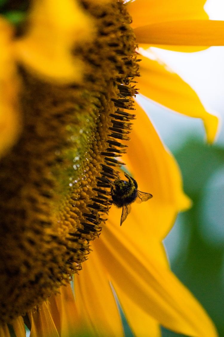Bee Sunflower II, 2016 - paweladamski | ello