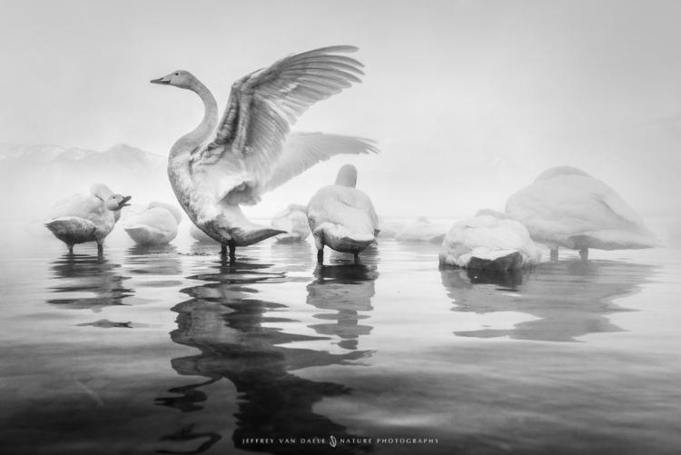 image Whooper Swans cold mornin - jeffreyvandaele | ello