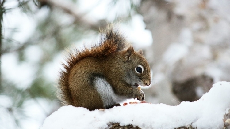 Snow Squirrels - snow, photo, nature - tut | ello