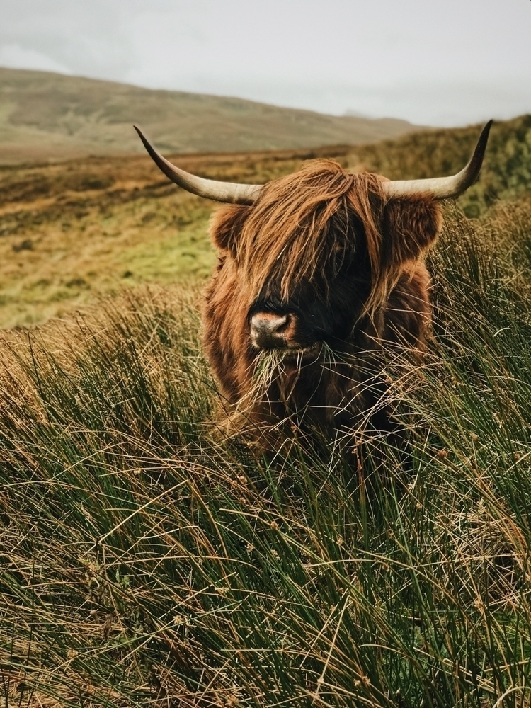 Highland cattle funniest creatu - devtrammel | ello