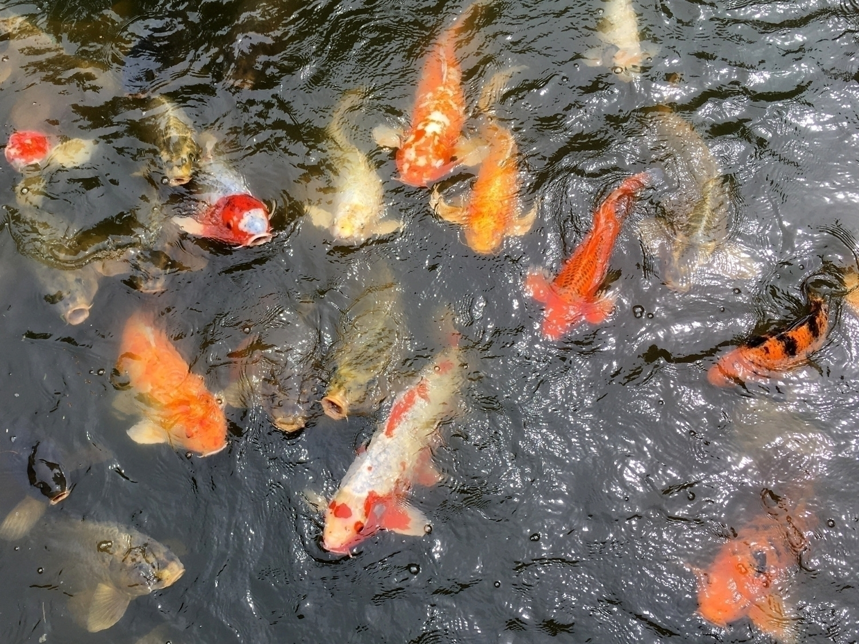 1165. time Japanese garden koi  - moosedixon | ello