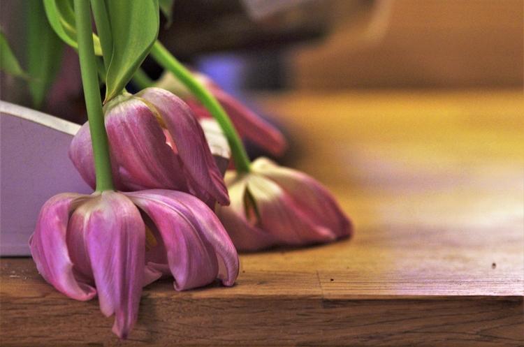 tired Dutch tulips - beautiful  - mwielaert   ello