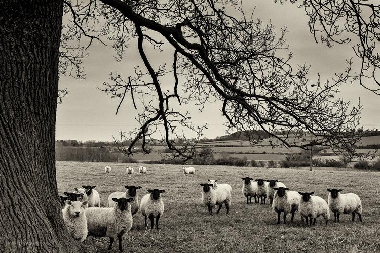 menace, stare, cold, field, sheep - toni_ertl | ello