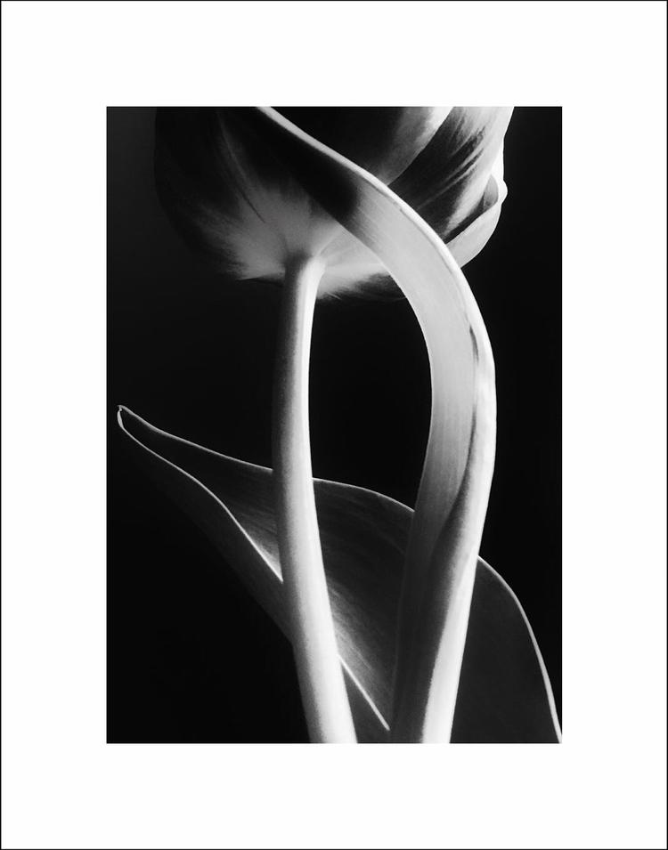 Lale - tulip, blackandwhite, photography - aleksaleksa | ello