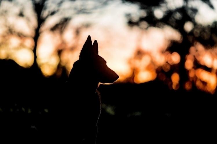 dog, Augustus, contemplating su - emileebaxter | ello