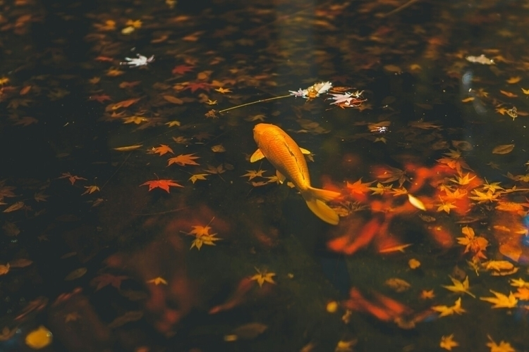 fish enjoy Autumn leaves guess - fokality | ello
