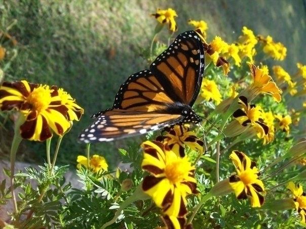 MonarchButterfly, photography - mlvmt   ello