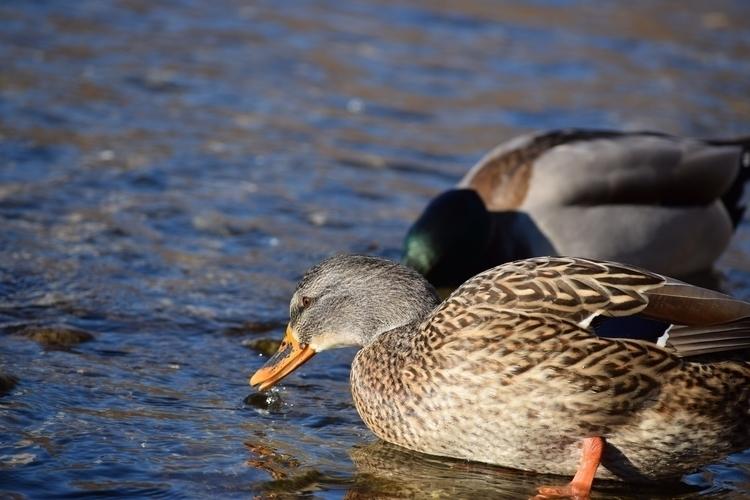 duck - Duck, Water, Bird, Mallard - reidcameron | ello
