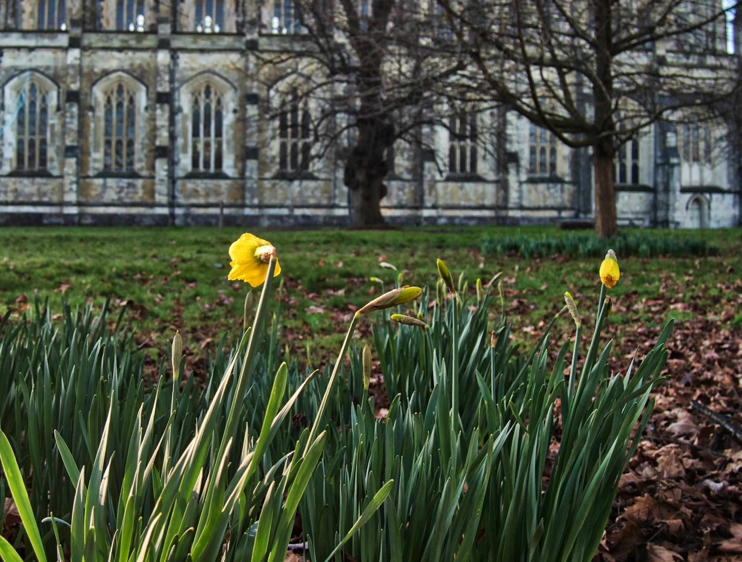 Daffodil daffodil grounds Winch - neilhoward | ello