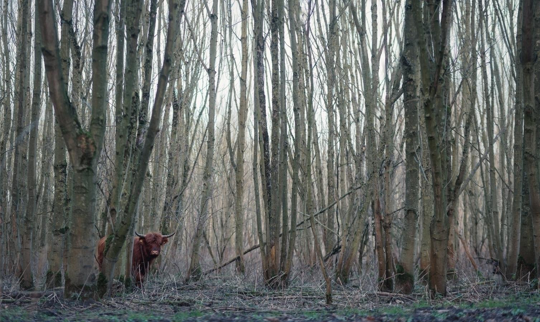 stalking - animals, color, cow, highlandcow - klaasphoto | ello