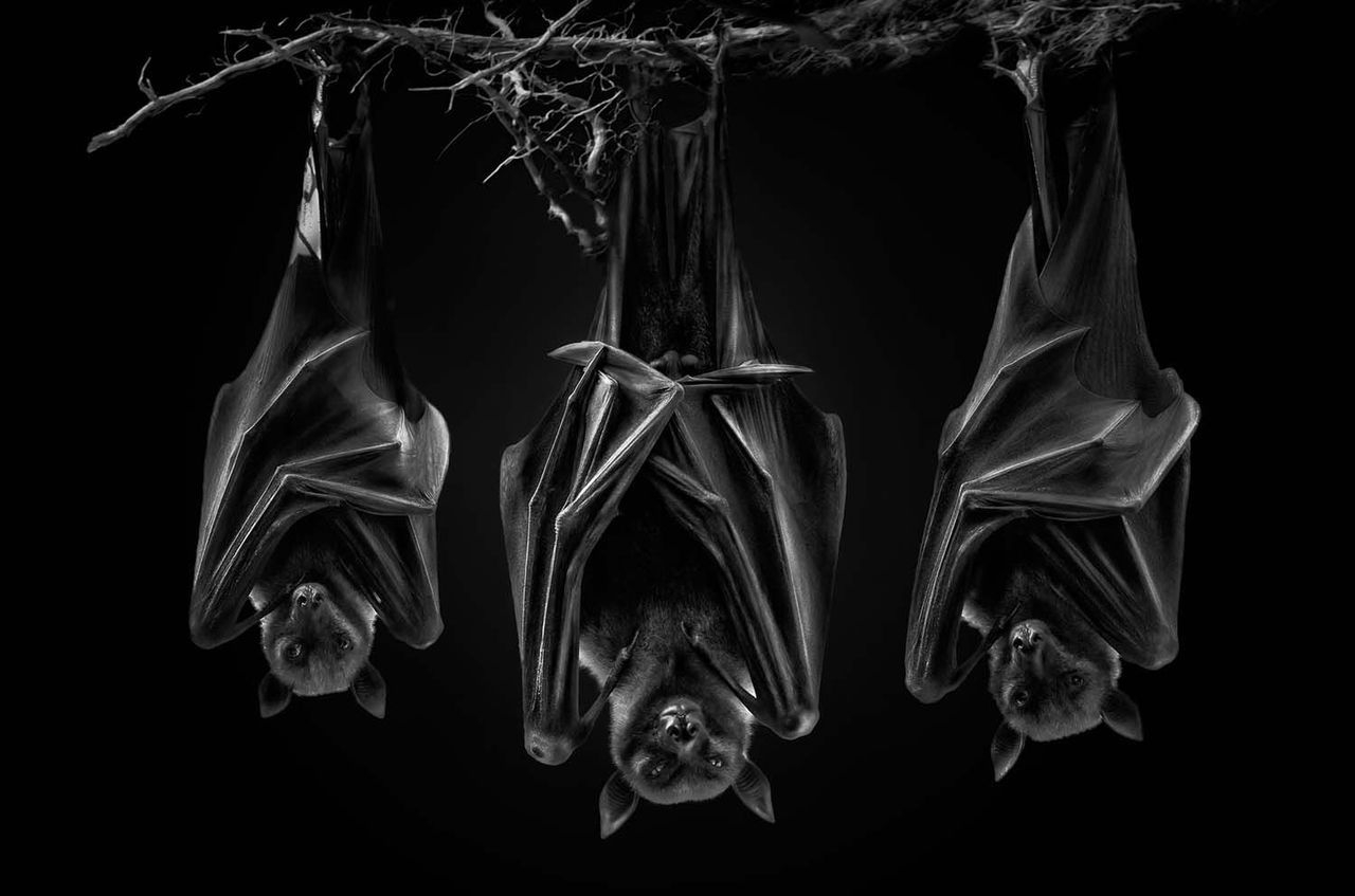 Bat Photography | Pedro Jarque  - ronbeckdesigns | ello