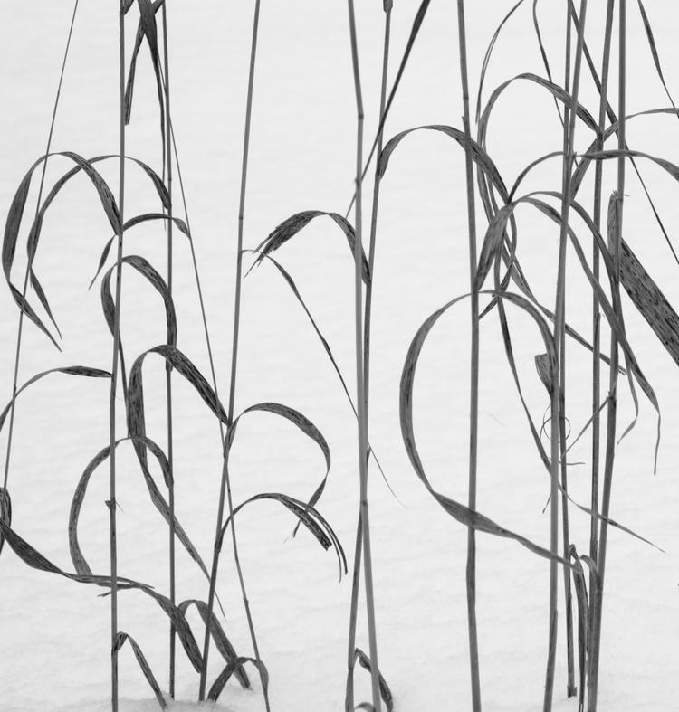 Grasses Snow https://ello.co/ju - junwin | ello