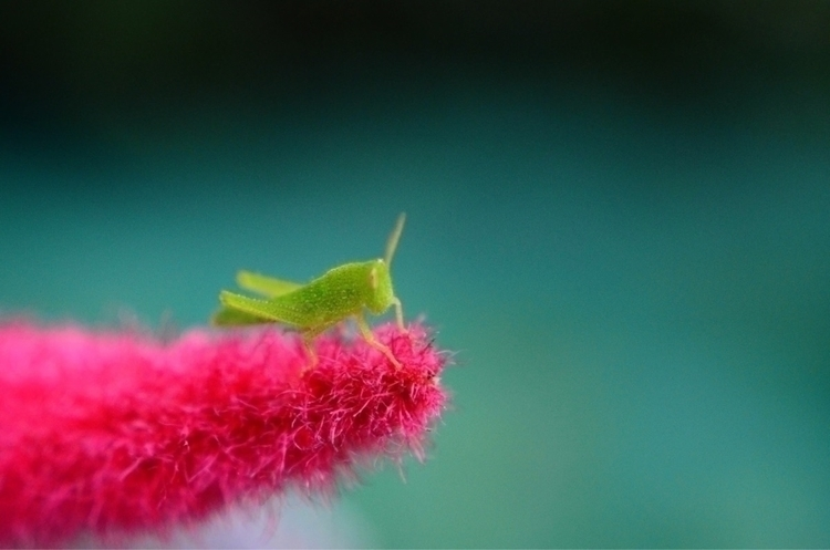 Green Red tiny grasshopper, bab - changyi | ello