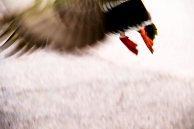flyin' duck - elgatoastronauta | ello
