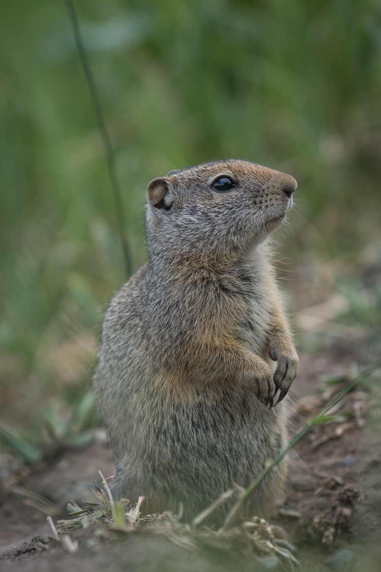 Uinta Ground Squirrel. resided  - jeffmoreau | ello