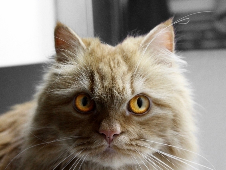Boniato - cat, portrait, animalportrait - bloodymaary   ello