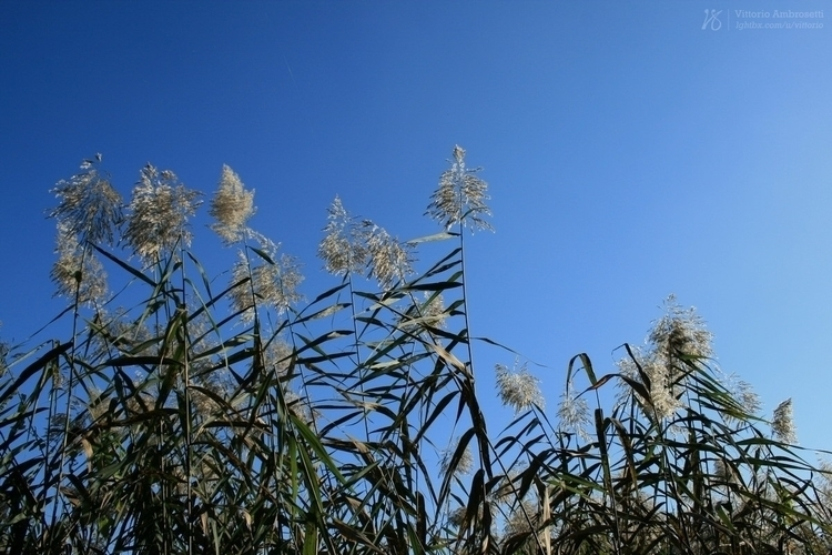 Reeds wind - photography, reeds - azonic | ello