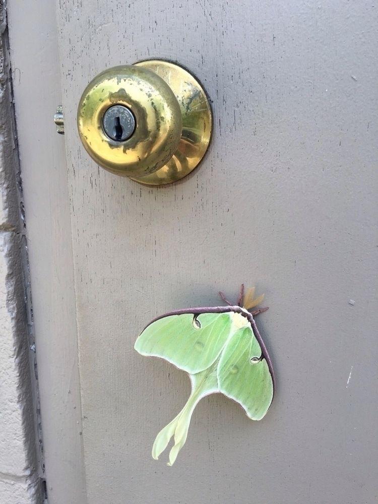 Lunamoth, luna, moth, green, brown - grazkaniklewicz | ello