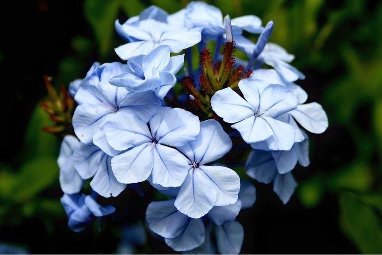 Hydrangea Detail Angela Fardo - plants - afardo | ello