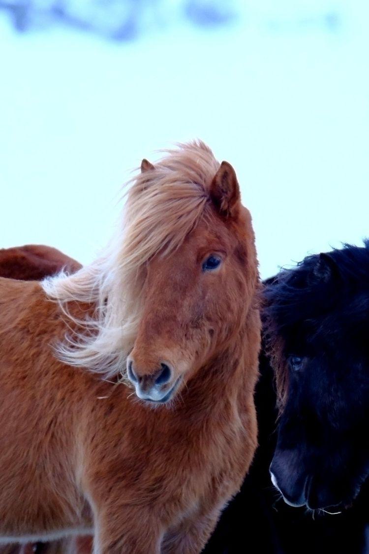 ICELAND HORSE - iceland, icelandair - shunlung_lin | ello