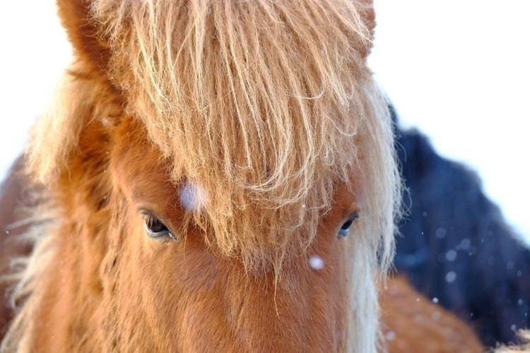 ICELAND HORSE - iceland, icelandair - shunlung_lin   ello