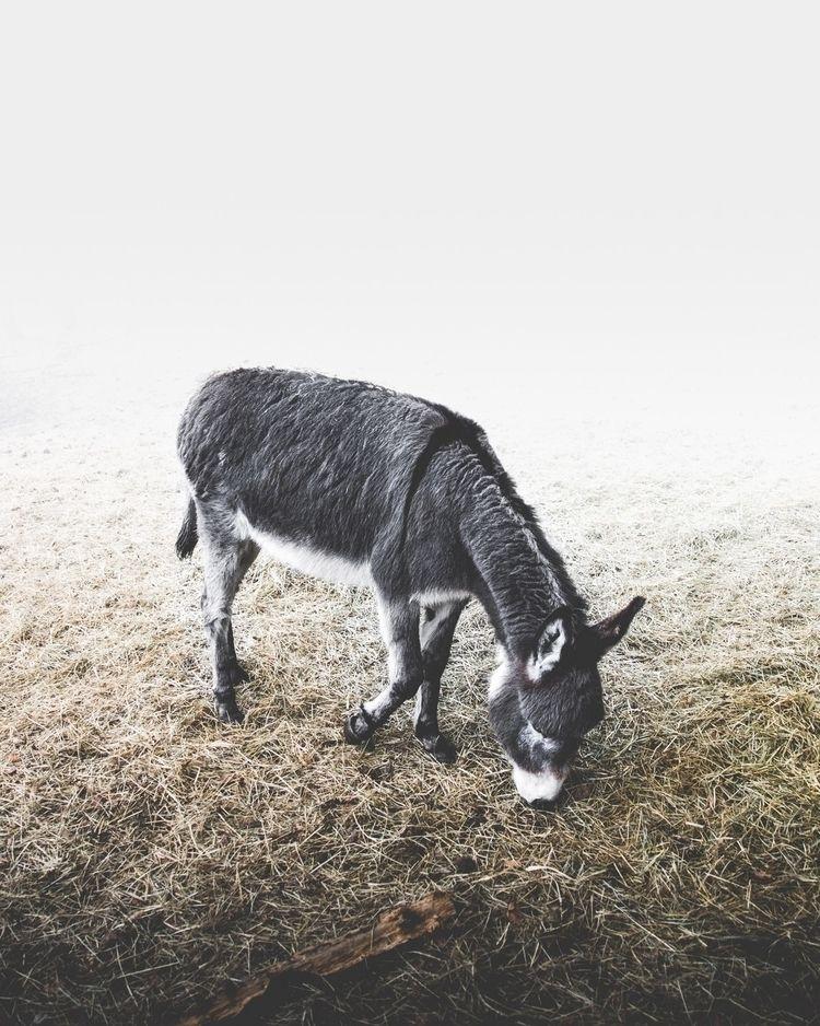donkey - douglasfir | ello