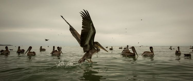 Pelicans - ezraepwell | ello