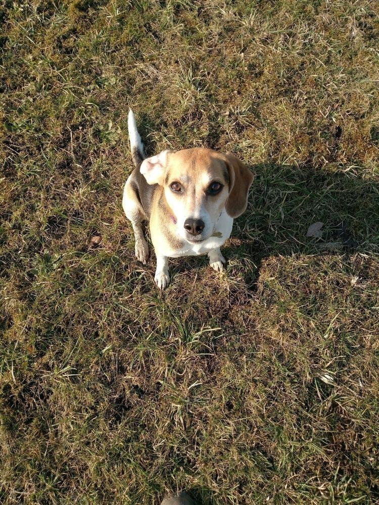 Cassie beagle - dac_j | ello