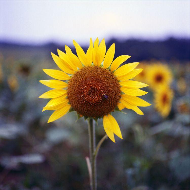 Sunflower Mamiya C330 Kodak Ekt - danielregner   ello