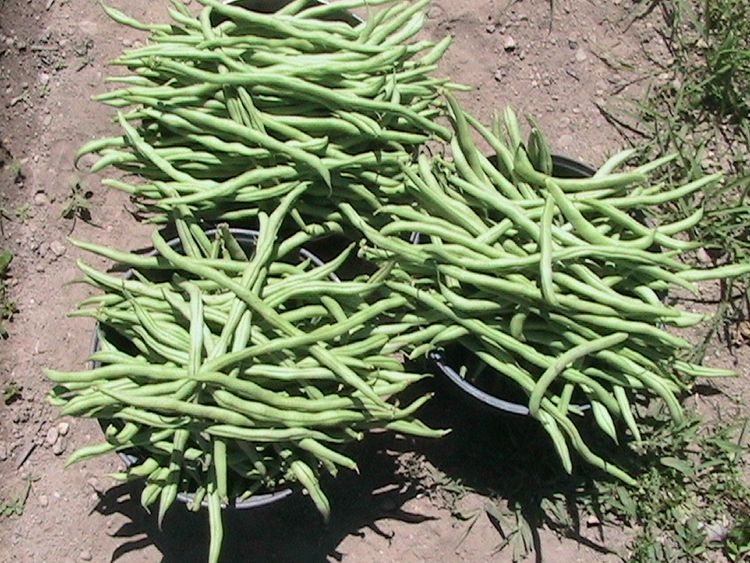 interested growing snap beans g - ejfern28 | ello