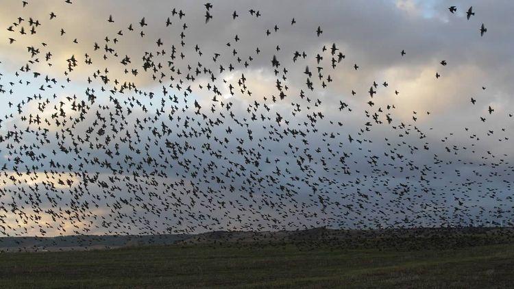 Cientos de pájaros caen repenti - codigooculto | ello