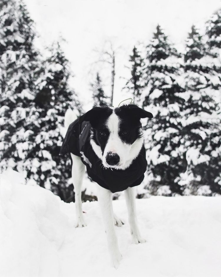 bordercollie, puppy, snow - kacilmiller | ello