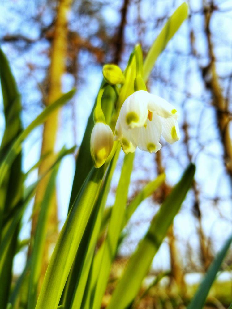 Snowbells Spring - snowbells, photograph - roanemermaid | ello