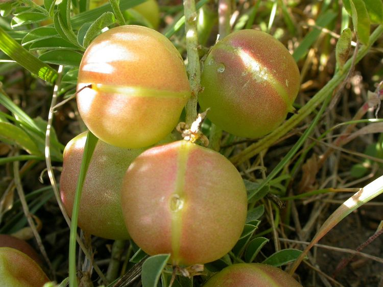 Ground Plum: Perennial Pea Plan - puyp | ello