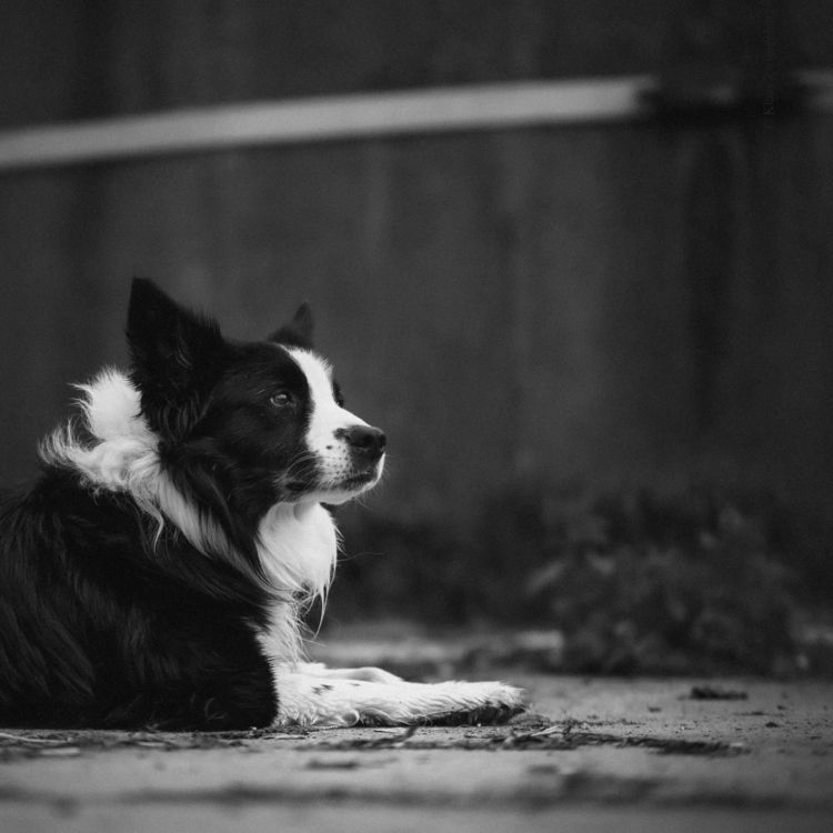 Retired sheep dog - animals, blackandwhite - klaasphoto | ello