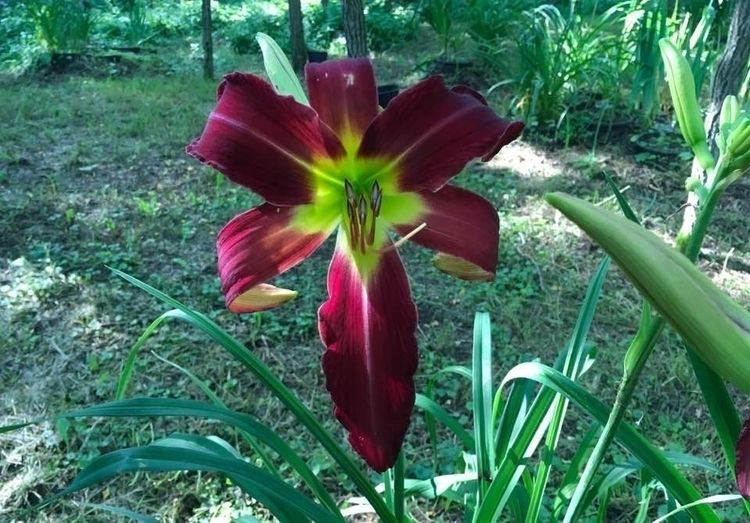 Daylilies Rideau Lakes Garden!  - danielasavage   ello