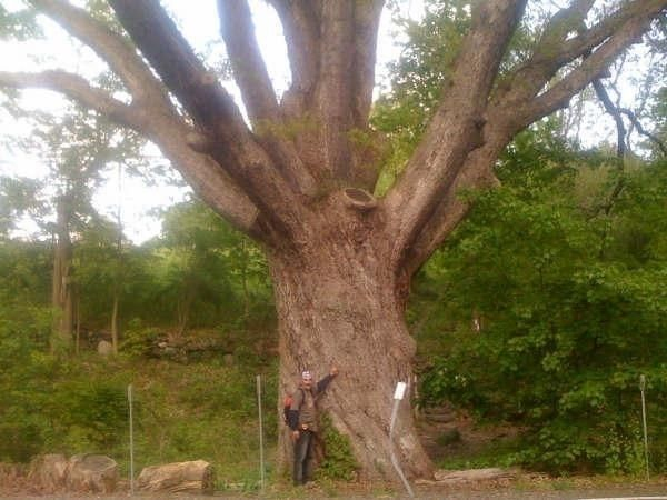 big tree, gee 300 years - findog2 | ello