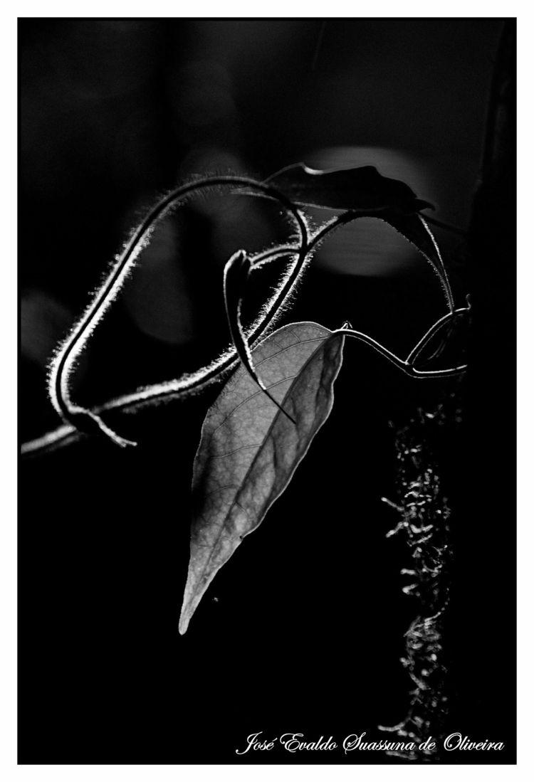 Luz da Mata - leaf, leaves, folha - jsuassuna | ello