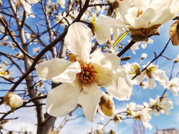 Spring sky full white magnolias - martinainwonderland   ello
