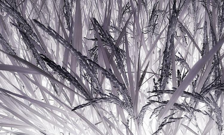 nature studies rice - photography - voiceofsf | ello