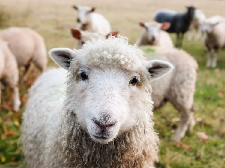 sheep hear voice, follow John 1 - daveandmia   ello