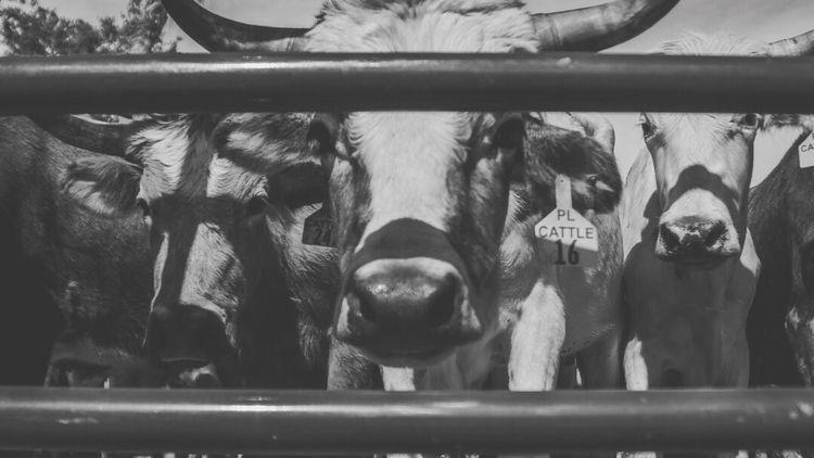 Cattle Drive - Kissimmee, Flori - bntlymedia | ello