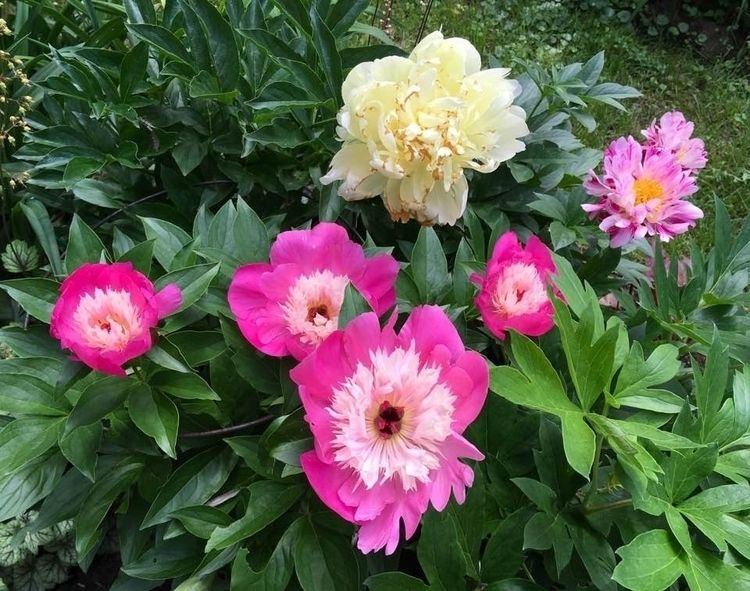 Peonies Rideau Lakes Gardens!  - danielasavage | ello