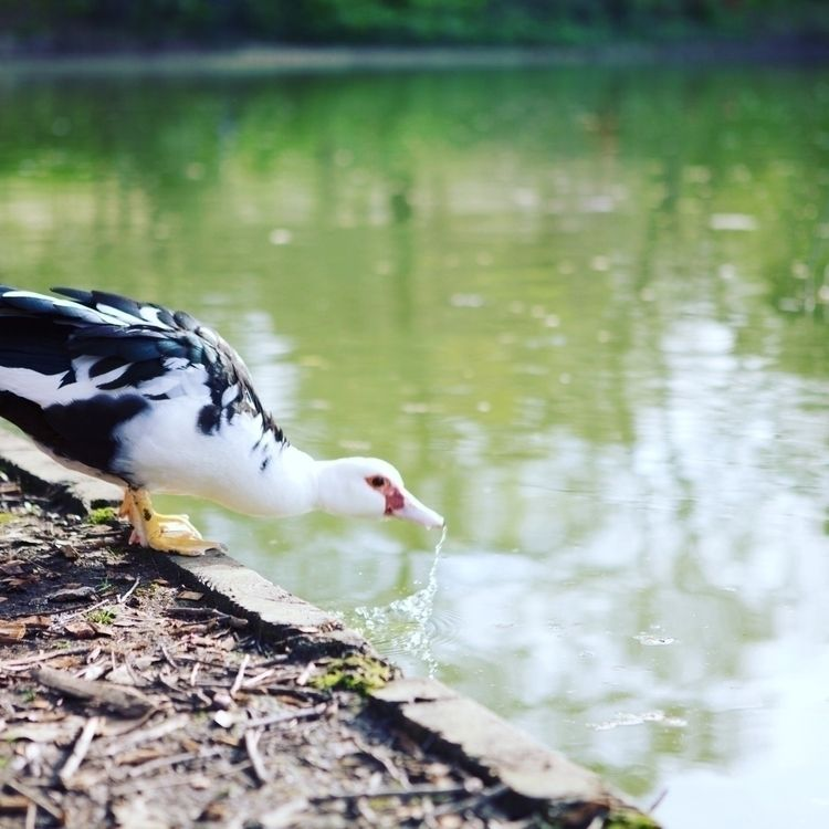 Piedmont Park, Pretty cool duck - jsandlin | ello